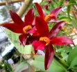 Cattlianthe (Cattleya) Chocolate Drop