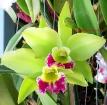 Cattleya Kencolor