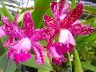Cattleya Pink Jaguar