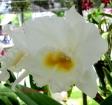 Rhyncholaeliocattleya White Diamond