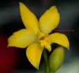 Cattleya briegeri