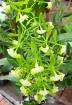 Epidendrum veroscriptum