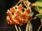 Hoya benguetensis