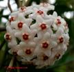 Hoya carnosa white