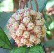 Hoya finlaysonii
