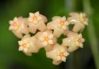Hoya neoebudica