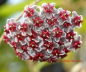 Hoya pubicalyx Black Dragon