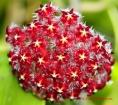 Red Hoya mindorensis