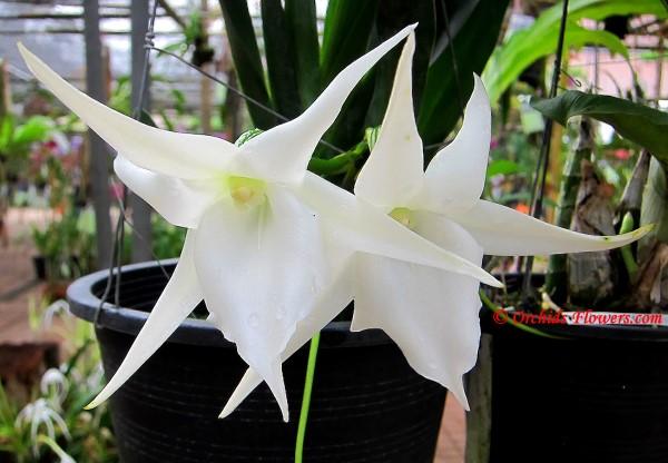 Angraecum Lemförde White Beauty