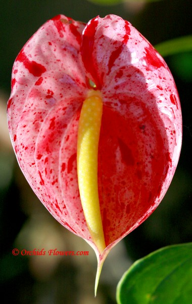 Flamingo Flower Anthurium Shibori