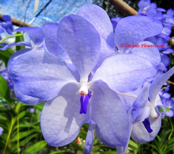Blue Vanda (Vanda coerulea)