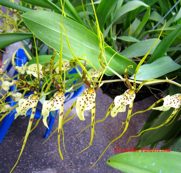 "Brassia Eternal Wind ""Summer Dream"""