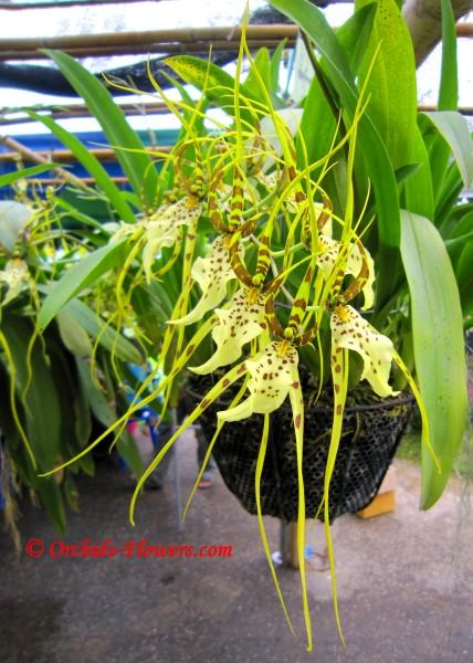 Brassia Eternal Wind