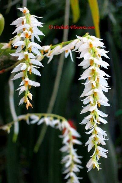 Thai Miniature Orchid Bulbophyllum sukhakulii