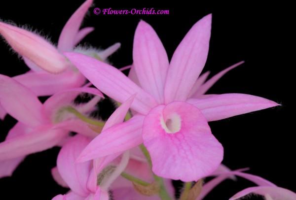Calanthe rosea (Lindl.) Benth. 1880