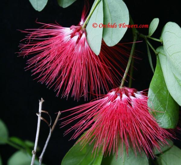 Red Dwarf Powder Puff (Calliandra emarginata)