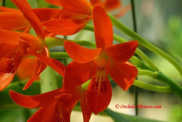 Cattleya aurantiaca (Bateman ex Lindl.) P.N. Don 1840