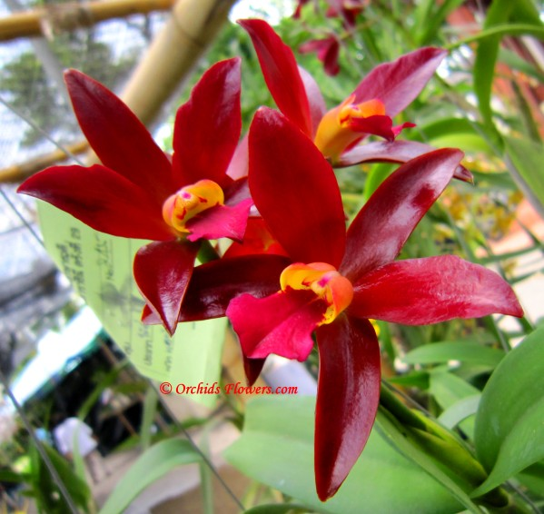 Cattleya Chocolate Drop