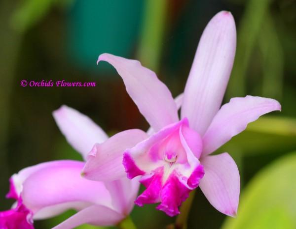 Cattleya intermedia Graham 1828