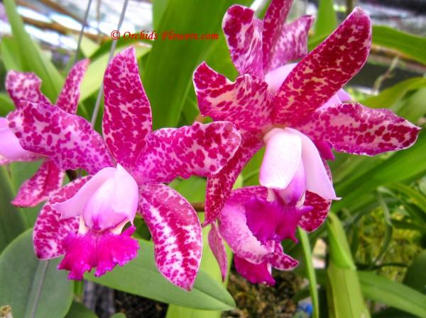 Orchid Hybrid Cattleya Pink Jaguar