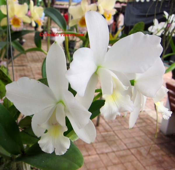 Orchid Hybrid Cattlianthe White Bridal