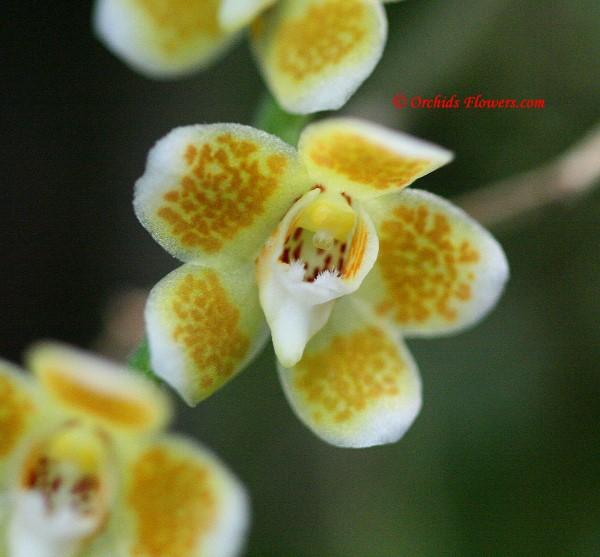 Miniature Orchid Chiloschista ramifera