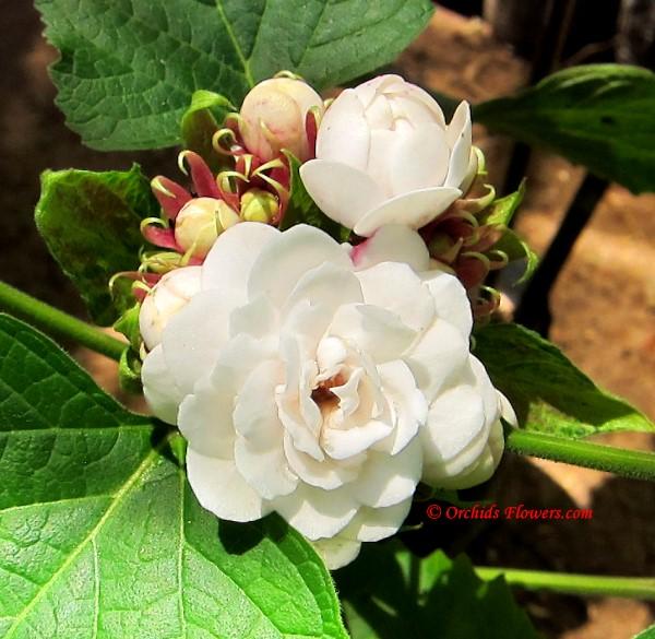 Chinese Glory Bower (Clerodendrum chinense)