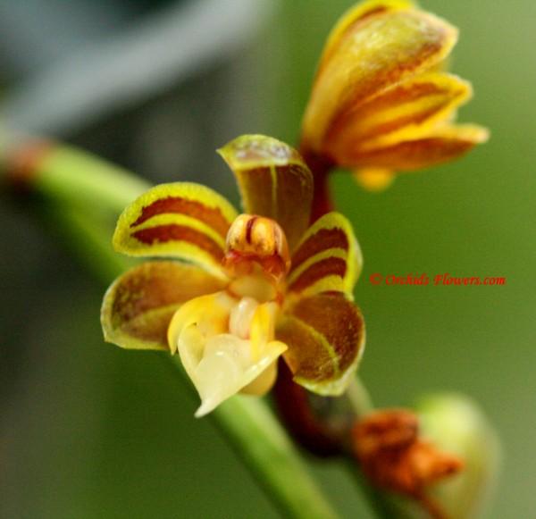 Cleisostoma birmanicum (Schltr.) Garay 1972