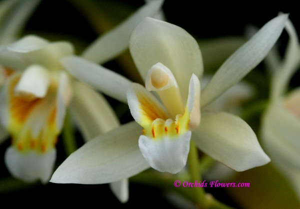 Coelogyne lactea Rchb.f. 1885, flower macro