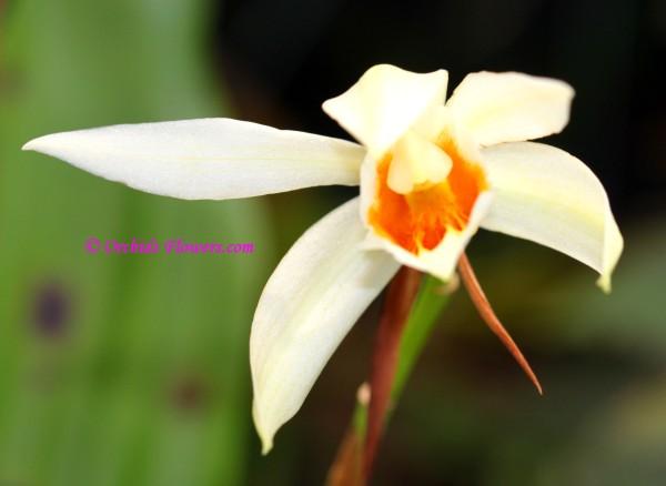 Coelogyne Mem. William Micholitz, Orchid Hybrid