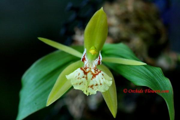 Coelogyne schilleriana Rchb.f. 1858