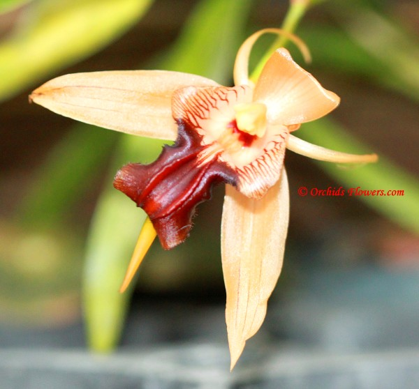Coelogyne sp., Laos