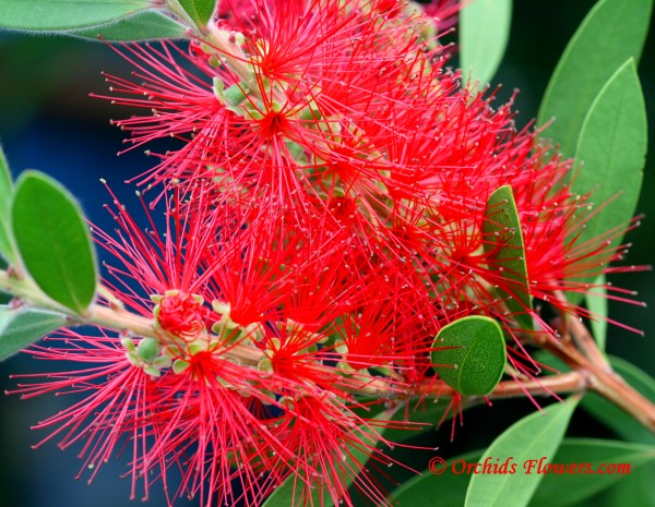 Crimson Bottlebrush (Callistemon citrinus)