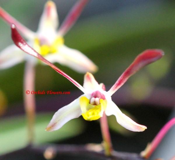 Miniature Orchid Dendrobium carronii