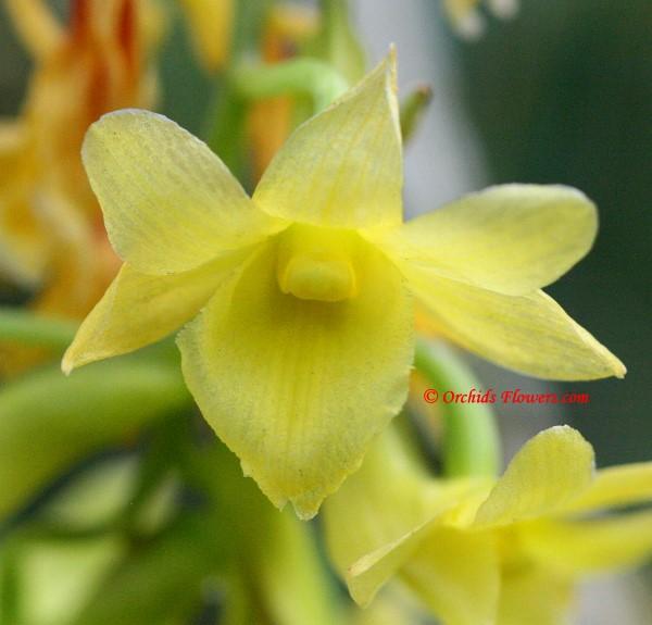Dendrobium cerinum Rchb. f. 1879