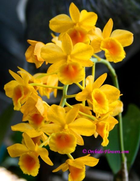 Dendrobium chrysotoxum Lindl.