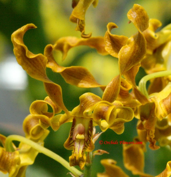 Canary Orchid (Dendrobium discolor)