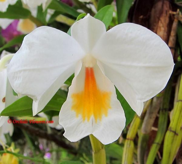 Dendrobium formosum Roxb. 1832