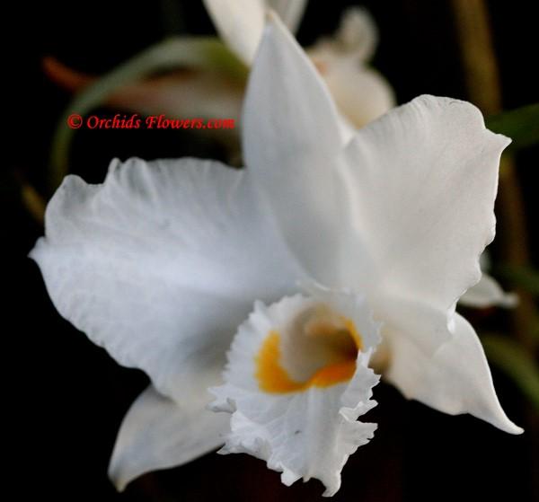 Dendrobium infundibulum Lindl.1859