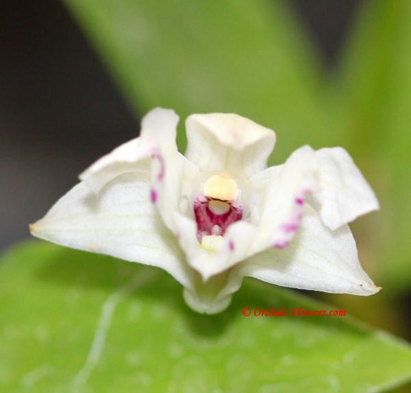 Dendrobium Maiden Charlotte