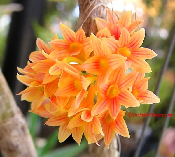 Natural Hybrid Dendrobium × usitae