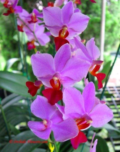 Doritaenopsis / Phalaenopsis Dyah Redita