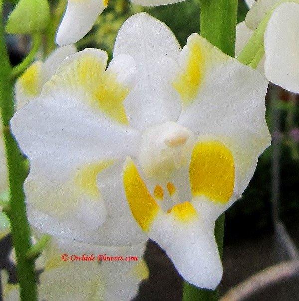 Doritis pulcherima var. champornensis alba