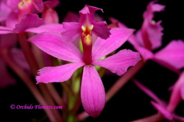Epidendrum radicans Ballerina Orchid Hybrid