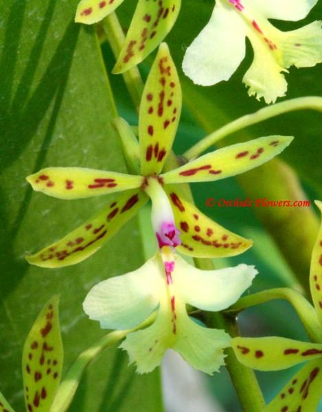 Epidendrum stamfordianum Bateman 1838