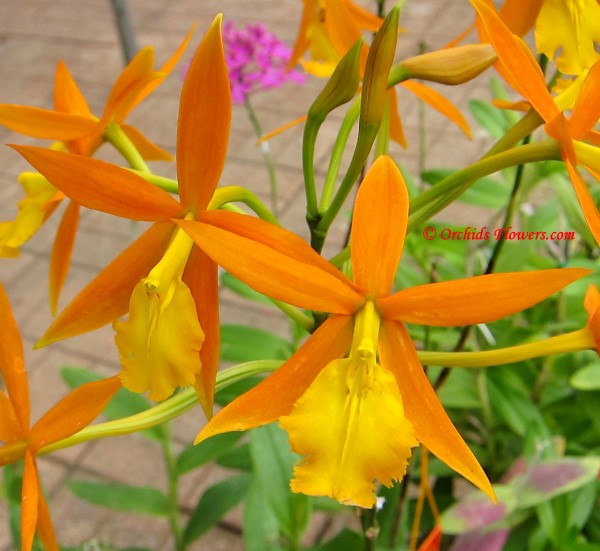 Epithechea Orange Blaze (Epidendrum Orange Blaze)