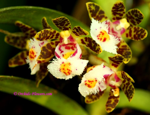 Gastrochilus bellinus (Rchb.f) Kze.