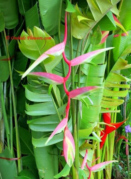 Heliconia chartacea Sexy Pink