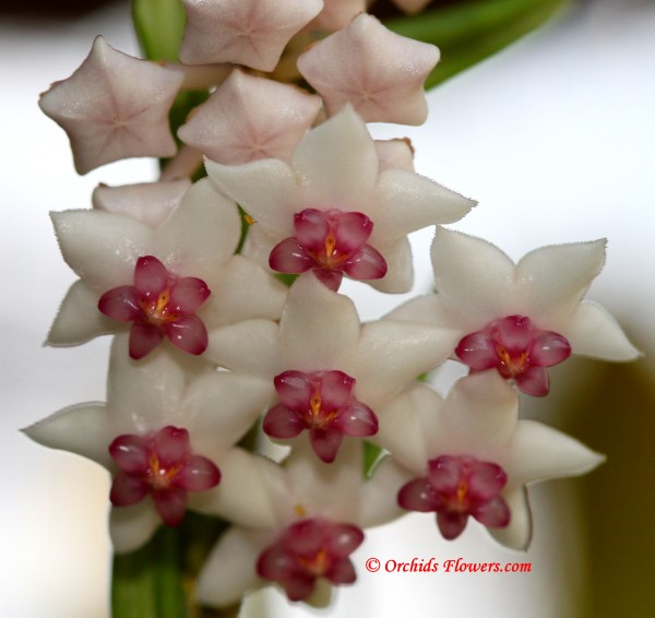 Hoya bella Wax Flower