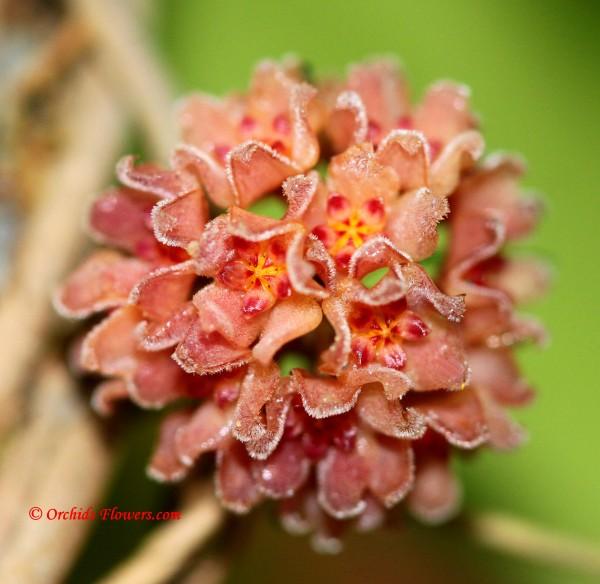 Hoya camphorifolia Warburg 1906